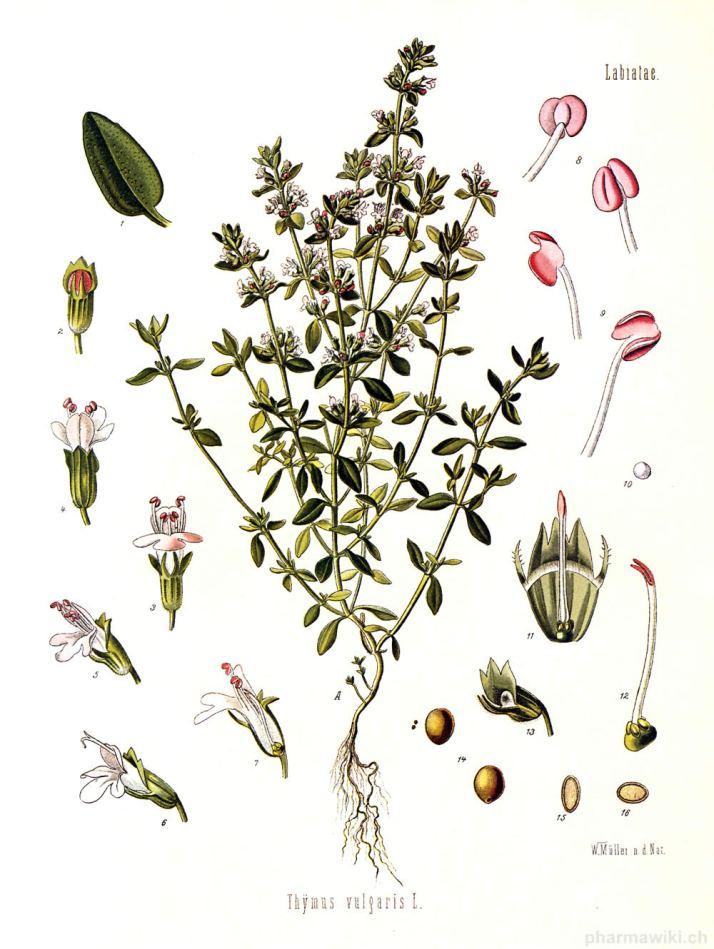 thymus-vulgaris_tomillo.jpg